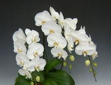 Phalaenopsis_5