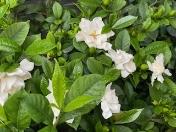 Gardenia2020